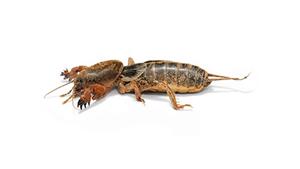 lawn-cricket