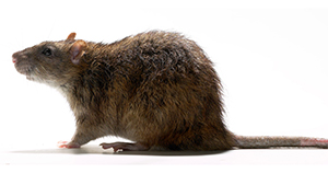 norwegian-rat